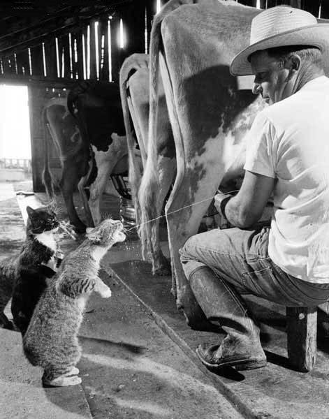 You might be a redneck...-milkcat.jpg